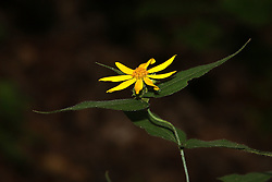 July 2007: Wild flower, Shot at the Trail of Tears State Park near Cape Girardeau, Missouri