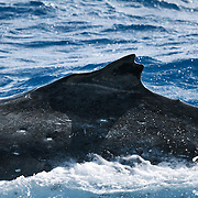 This humpback whale's dorsal fin has both a split and a unique bump at the frontal end, making it easy to identify. Split dorsal fins are both easy to spot and relatively uncommon. This whale was one of a pair of whales traveling together, probably both male, though I was unable to whales' ventral areas to confirm. The other whale had white pectoral fins.