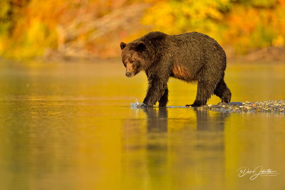 Grizzly bear (Ursus arctos)- Feeding on a sockeye salmon run, Chilcotin Wilderness, BC Interior, Canada