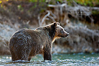 Grizzly bear, Great Bear Rainforest in British Columbia