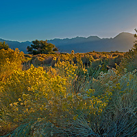 Rabbitbrush blooms near Bishop in the Owens Valley, California. The eastern escarpment of the Sierra Nevada crest rises behind, including Mount Humphreys (center) and Basin Mountain and Mount Tom to its right.