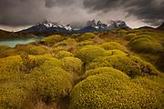 Rainstorm engulfs Cuernos del Paine peaks, thorny 'matabarrosa' (Mulinum spinosum) in flower, Parque Nacional Torres del Paine, Patagonia, Chile.