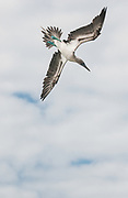 Blue-footed Booby diving<br /> Sula nebouxii<br /> Isabela Island<br /> Galapagos Islands<br /> ECUADOR.  South America