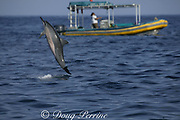 Hawaiian spinner dolphin or Gray's spinner dolphin, Stenella longirostris longirostris, jumping near tour boat, , Kona, Hawaii ( the Big Island ), USA ( Central Pacific Ocean )