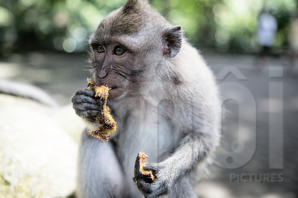 Monkey forest sanctuary, Ubud, Bali, Indonesia, Southeast Asia