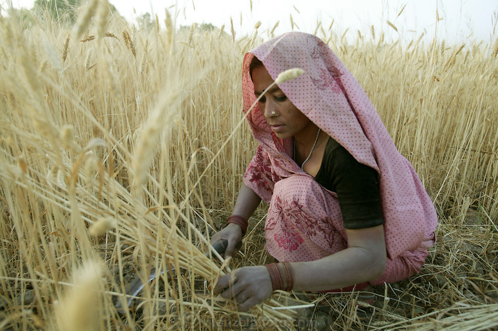 IND.MWdrv04.099.x..Mishri Yadav harvests wheat in Ahraura Village, Uttar Pradesh, India. Her family must pay half of the harvest to the owner of the land that they farm. They grow one planting of wheat and then rice during the rest of the year. Revisit with the family, 2004. The Yadavs were India's participants in Material World: A Global Family Portrait, 1994 (pages: 64-65), for which they took all of their possessions out of their house for a family-and-possessions-portrait. Work..