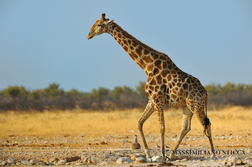 """The giraffe (Giraffa camelopardalis) is an African even-toed ungulate mammal, the tallest living terrestrial animal and the largest ruminant. Its species name refers to its camel-like appearance and the patches of color on its fur. Its chief distinguishing characteristics are its extremely long neck and legs, its horn-like ossicones and its distinctive coat patterns. It stands 5–6 m (16–20 ft) tall and has an average weight of 1,600 kg (3,500 lb) for males and 830 kg (1,800 lb) for females. It is classified under the family Giraffidae, along with its closest extant relative, the okapi. There are nine subspecies, which are distinguished by their coat patterns.<br /> <br /> The giraffe's scattered range extends from Chad in the north to South Africa in the south, and from Niger in the west to Somalia in the east. Giraffes usually inhabit savannas, grasslands, and open woodlands. Their primary food source is acacia leaves, which they can browse at heights that most other herbivores cannot reach. Giraffes are preyed on by lions, and calves are also targeted by leopards, spotted hyenas and wild dogs. Adult giraffes do not have strong social bonds, though they do gather in loose aggregations if they happen to be moving in the same general direction. Males establish social hierarchies through """"necking"""", which are combat bouts where the neck is used as a weapon. Dominant males gain mating access to females, who bear the sole responsibility for raising the young.<br /> <br /> The giraffe has intrigued various cultures, both ancient and modern, for its peculiar appearance, and has often been featured in paintings, books and cartoons. It is classified by the International Union for Conservation of Nature (IUCN) as Least Concern, but has been extirpated from many parts of its former range, and some subspecies are classified as Endangered. Nevertheless, giraffes are still found in numerous national parks and game reserves."""