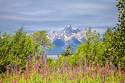 Wildflowers, Shadow Mountain, Jackson Hole, Wyoming