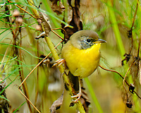 Common Yellowthroat (Geothlypis trichas). Image taken with a Fuji X-T2 camera and 100-400 mm OIS lens.