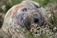 Mirounga leonina (Southern elephant seal)