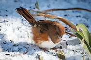 A female towhee feeding in the snow.