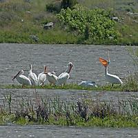 American White Pelicans<br /> (Pelecanus erythrorhynchos) preen beside the Madison River near Norris, Montana.