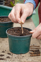 Taking root cuttings - trimming stems at a slanted angle to mark which end is downwards and ensure they are placed the correct way up