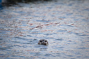 Seal, probably Harbour Seal,  in the harbout at Ny-Alesund