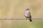 Mountain Bluebird on barbed-wire fence, Montana.