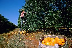 Araraquara, SP, Brasil. 18/agosto/2003.Colheita em plantacao de laranja em fazenda fornecedora da Cutrale./ A farm worker picking oranges..Foto Marcos Issa/Argosfoto