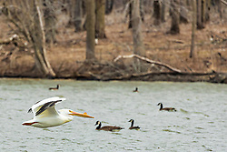 American White Pelican (Pelecanus) are a genus of large water birds that makes up the family Pelecanidae. They are characterised by a long beak and a large throat pouch used for catching prey and draining water from the scooped up contents before swallowing.<br /> <br /> Also pictured are Canadian Geese.