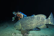 """Goliath grouper or jewfish, Epinephelus itajara, <br /> on wreck of the Rhone, follows divers at night <br /> and feeds on fish they """" spotlight """" <br /> British Virgin Islands ( Caribbean Sea )"""