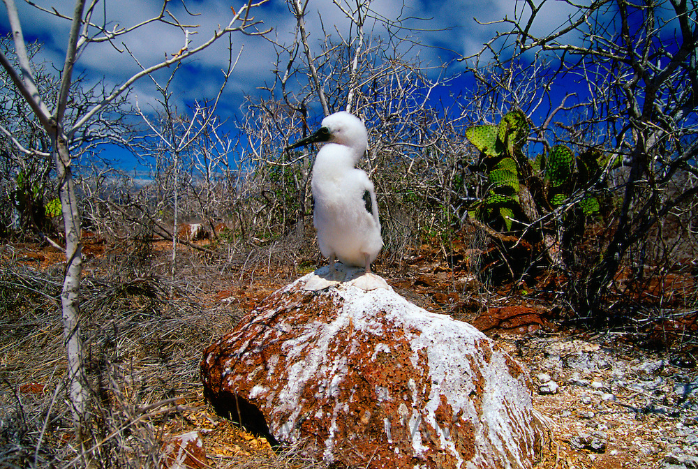 Juvenile Blue-footed Booby bird on the Galapagos Islands