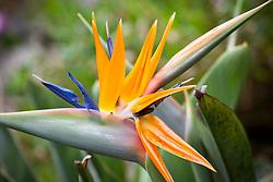 Strelitzia reginae. Bird of Paradise