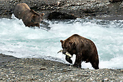 Large adult grizzly bears catch chum salmon in the upper McNeil River falls at the McNeil River State Game Sanctuary on the Kenai Peninsula, Alaska. The remote site is accessed only with a special permit and is the world's largest seasonal population of brown bears.