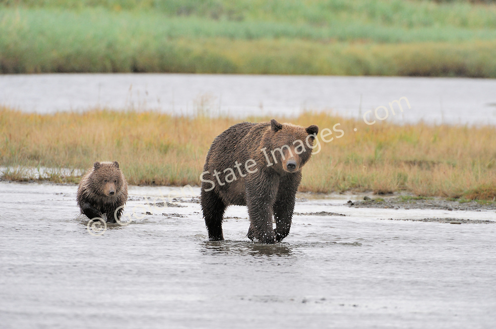 Sow crosses the creek with her cub in tow.<br /> <br /> Brown Bears and Grizzly Bears are the same species. In general Bears living within 50 miles of the coast are considered browns. Animals living further inland are considered Grizzlies.  <br /> <br /> Grizzlies are omnivores feeding on a variety of plants berries roots and grasses in addition to fish insects and small mammals. Salmon are a key part of their diet. Normally a solitary animal they will congregate along streams and rivers during Salmon runs. Weight to over 1200 pounds.    <br />  <br /> Range: Native to Asia Africa Europe and North America. Now extinct in much of their original range.    <br />   <br /> Species: Ursus arctos