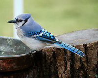 Blue Jay. Image taken with a Fuji X-T2 camera and 100-400 mm OIS telephoto zoom lens.