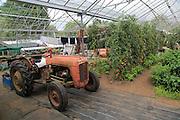 Red vintage tractor inside large glasshouse, Potager Garden, Constantine, Cornwall, England, UK