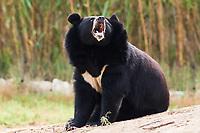 Asian Black Bear  roaring in nature