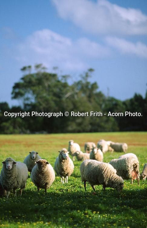 Sheep in field at Cloverdene Organic Sheeps milk dairy