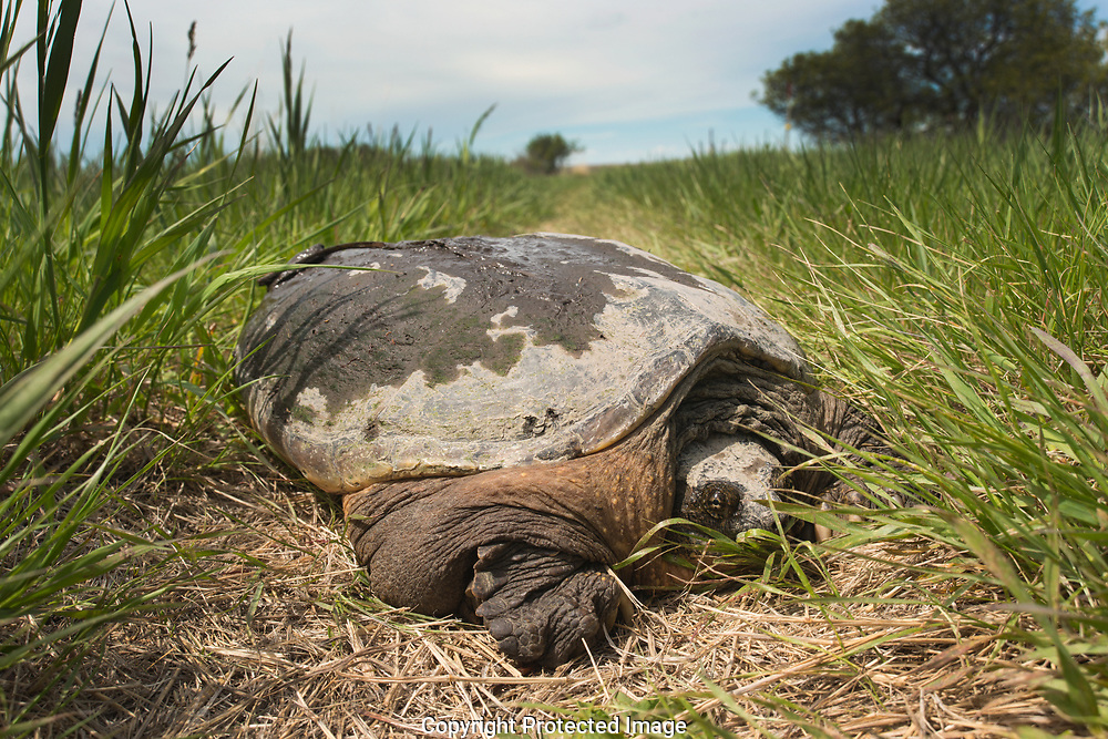 A very large snapping turtle has left the water to lay her eggs in some warm sand in South Dakota, USA. She intends me no harm. She is very shy. I have to touch her face repeatedly with a straw to get her to open her mouth for a traditional picture, and she merely wanted to be left alone.