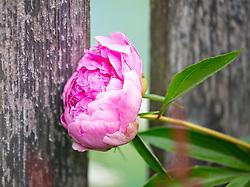 THEMENBILD - eine pinke Pfingstrose (Paeonia), aufgenommen am 09. Juni 2018, Kaprun, Österreich // a pink peony 2018/06/09, Kaprun, Austria. EXPA Pictures © 2018, PhotoCredit: EXPA/ Stefanie Oberhauser