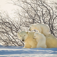 Polar Bear Cubs climb on mother's back while playing in Wapusk National Park south of Churchill Manitoba Canada near Hudson Bay.