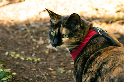 Zelda the cat prowls the yard behind her Oakland, Calif. home, Saturday, Jan. 9, 2021. (Photo by D. Ross Cameron)
