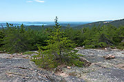 Jack Pine (Pinus banksiana) on the South Ridge trail of Cadillac Mountain, Acadia National Park, Maine, USA