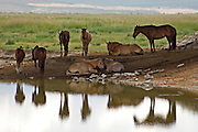 Horses resting by a small lake in the Mongolian Altai