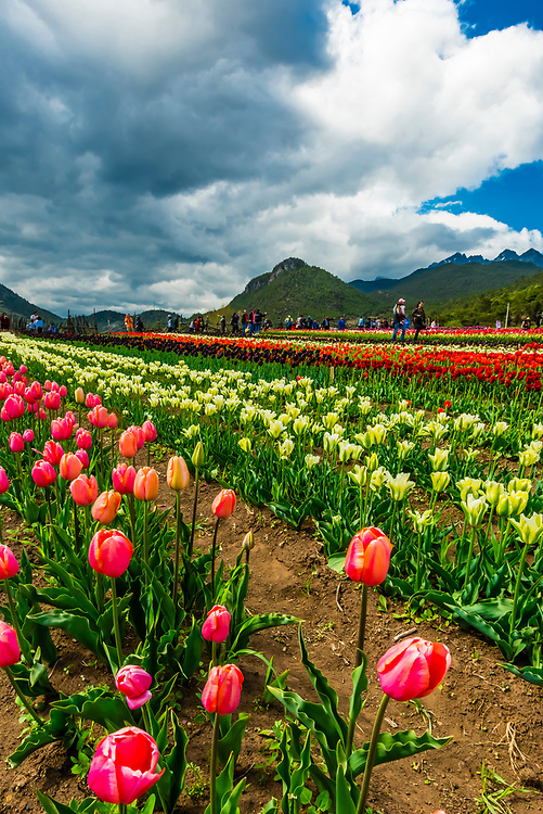 Lake Wenhai is a seasonal alpine lake and wetland in spring and summer. Here, in Spring, beautiful gardens of tulips and other flowers are planted, which is a big tourist attraction. The altitude at the lake is 3100 meters (10,200 feet). Jade Dragon Snow Peak is in the background.
