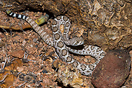"""A juvenile Western Diamondback rattlesnake (Crotalus atrox) hunting in the Sonoran Desert. At this age, the snake has only a """"button"""" on its tail that unable to make noise and rattle.  (Arizona)"""