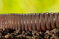 Common earthworm, Nightcrawler, Lumbricus terrestris; segments, on the ground.Gemeiner Regenwurm, Tauwurm, Lumbricus terrestris; Segmente, auf Erdboden