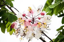 Cassia Bakeriana Pink Shower Wishing Tree#1