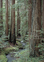 Redwood grove in Montgomery Woods in Mendocino County California