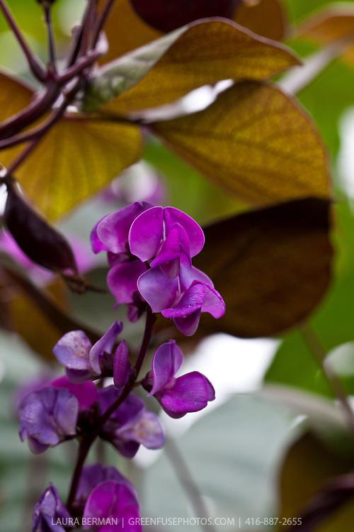 The distinctive purple flowers, dark purple pods and green and purple leaves of Lablab purpureus, commonly known as the hyacinth bean, Indian bean, seim (Guyana and Trinidad and Tobago), Egyptian bean, njahi (in the Kikuyu language of Kenya), bulay (Tagalog), bataw (Bisaya), or ??u ván (Vietnamese) .  (syn. Dolichos lablab, Dolichos purpureus,  Lablab niger Medikus, Lablab lablab Lyons, Vigna aristata Piper, and Lablab vulgaris ),