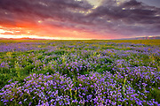 Phacelia and Sunset with Red Clouds,Carrizo Plain National Monument, California