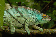 Parson's Chameleon (Calumma parsonii) ranges from eastern rainforests from Ranomafana National Park south to Andohahela, Madagascar