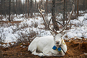 The special reindeer in the herd  (Rangifer tarandus) offered to the Shaman gods as indicated by its blue ribbon, Khovsgol Province, Mongolia