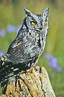 """Western Sereech Owl (Otus kennicottii) a small 9"""" owl with bright yellow eyes and ear tufts.  Found in western woods, wetlands, deserts and parks.  (captive)  This was a injured owl being treated at the Rocky Mountain Raptor Program, Colorado state University."""