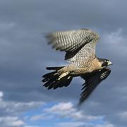 Peregrine Falcon (Falco peregrinus) in flight. Captive Animal
