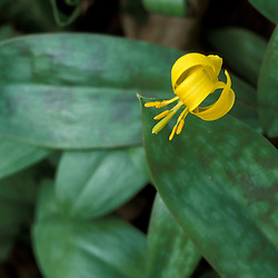Success, NH.  Trout lily, Erythronium americanum.  In the Mahoosuc Mountain Range.