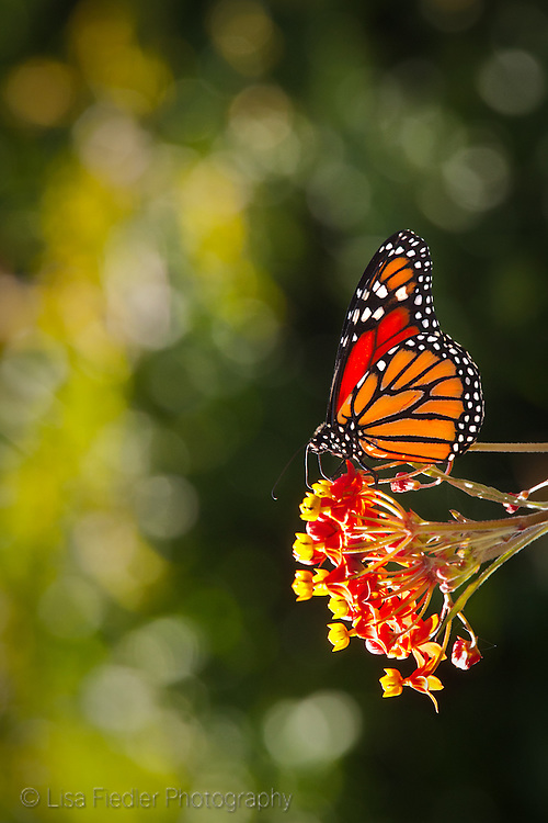 we have many monarch butterflies in our garden in the summer and fall in northern california near sausalito california. This monarch is feeding on milkweed