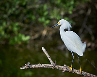 Snowy Egret. Biolab Road, Merritt Island National Wildlife Refuge. Image taken with a Nikon Df camera and 300 mm f/4 lens (ISO 100, 300 mm, f/4, 1/1250 sec).
